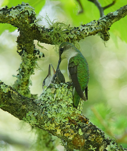 Hummingbird Nest 005