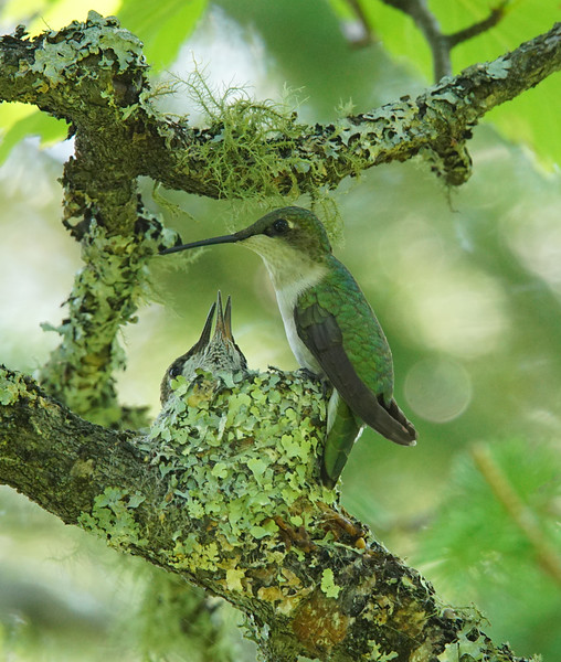 Hummingbird Nest 007