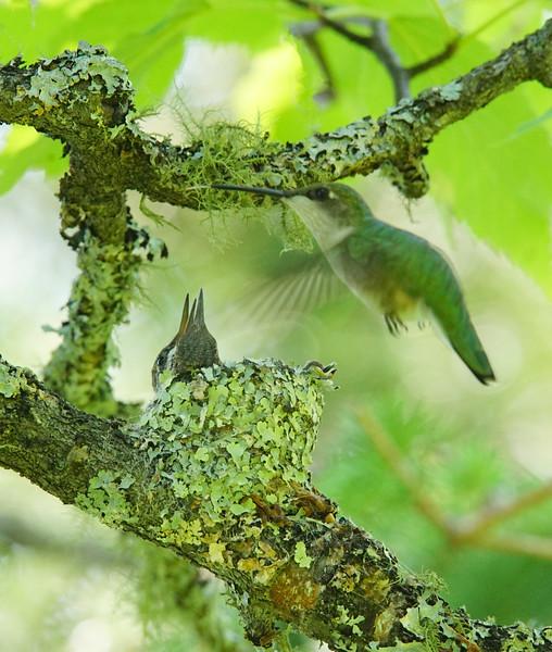 Hummingbird Nest 003
