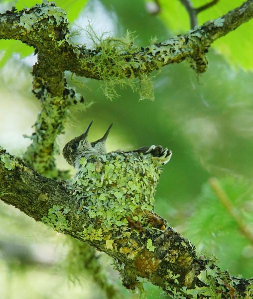 Hummingbird Nest 002