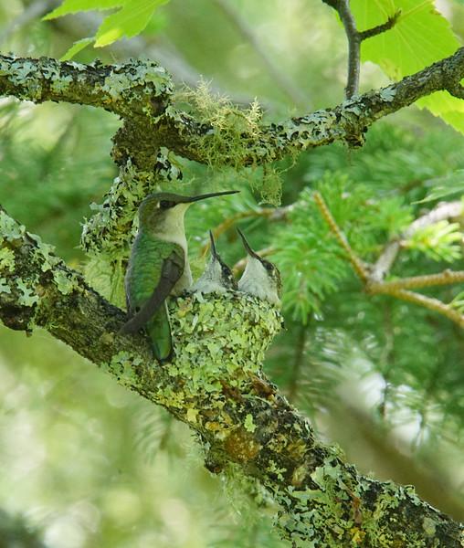 Hummingbird Nest 008