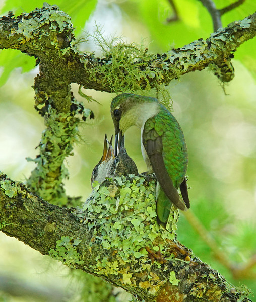 Hummingbird Nest 006