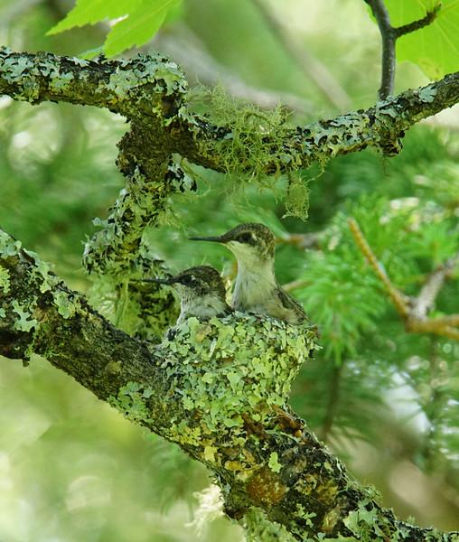 Hummingbird Nest 009