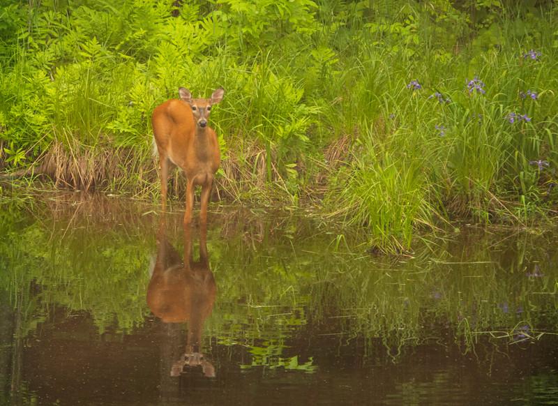 Wild Iris and White Tail Deer