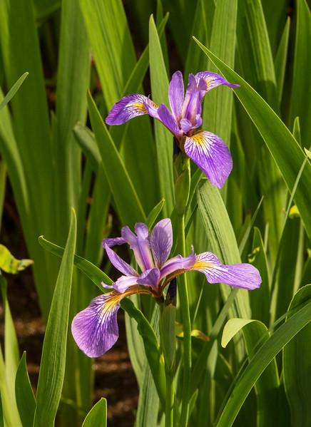 Wild Iris 005