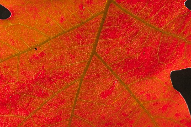 Oak Leaf 002