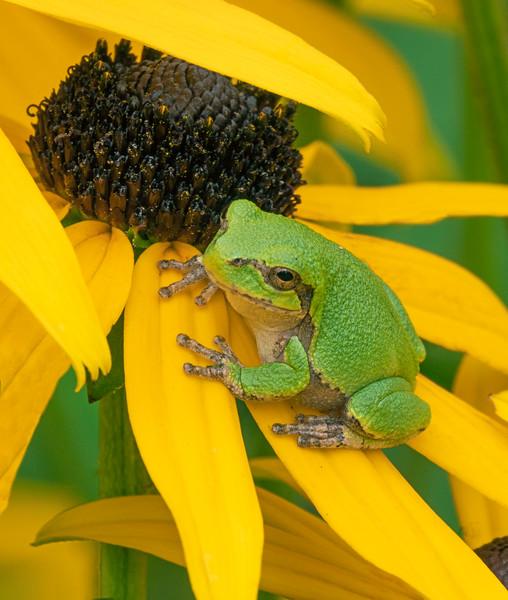 Gray Tree Frog 008