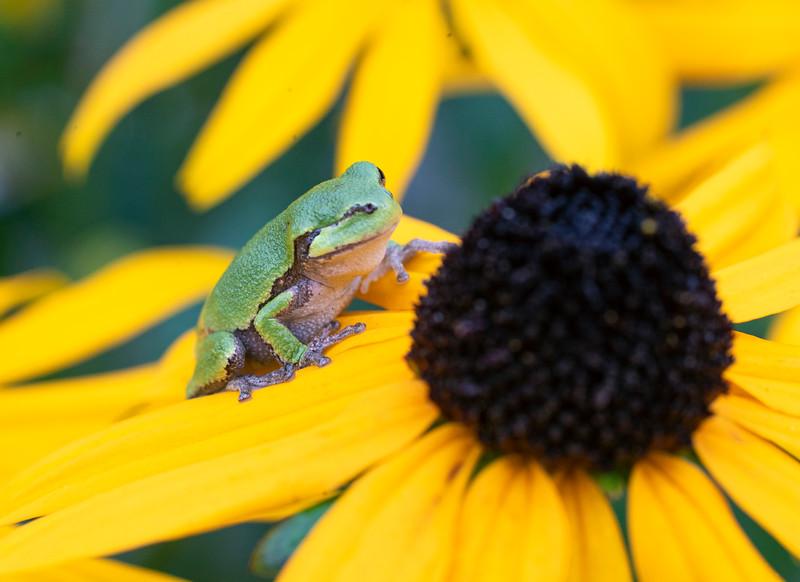 Gray Tree Frog 009
