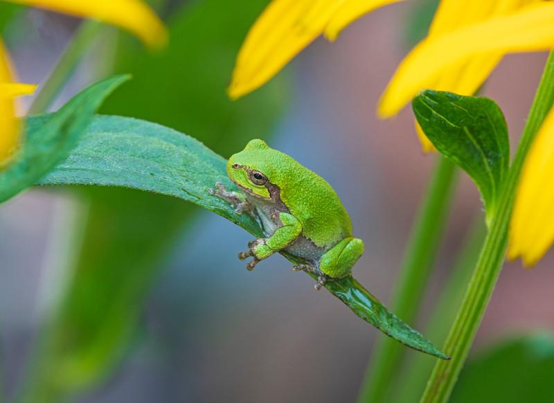 Gray Tree Frog 001