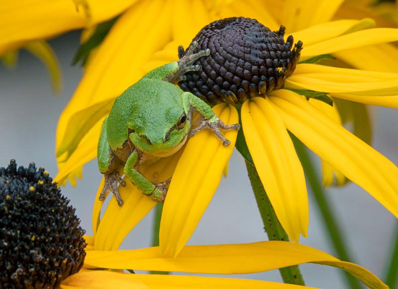 Gray Tree Frog 010