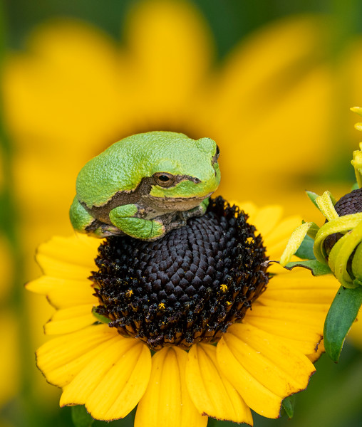 Gray Tree Frog 005