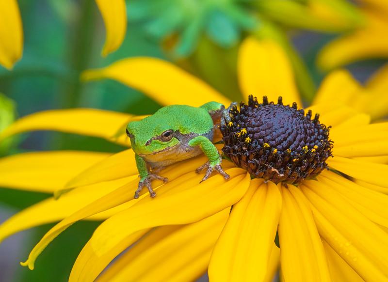 Gray Tree Frog 003