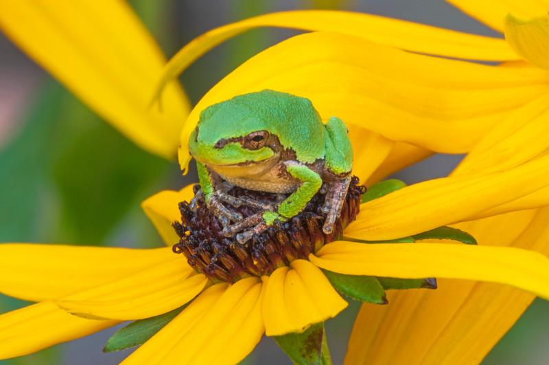 Gray Tree Frog 011