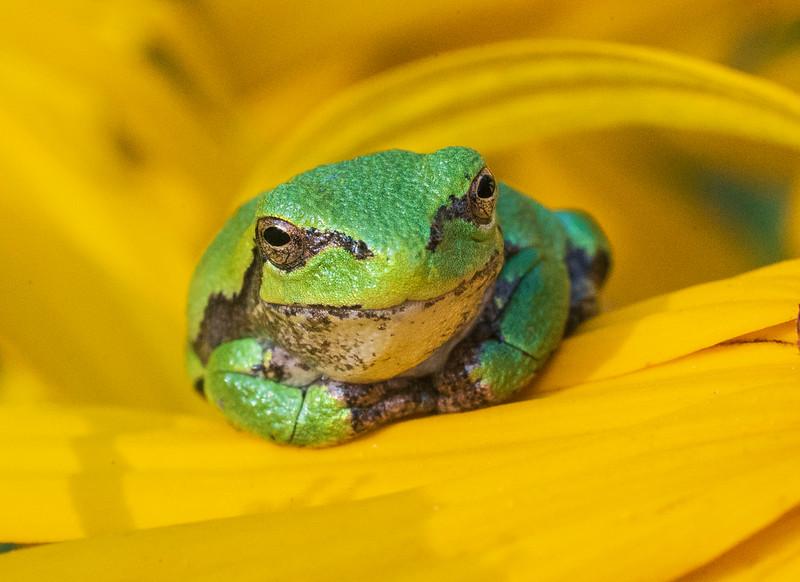 Gray Tree Frog 007