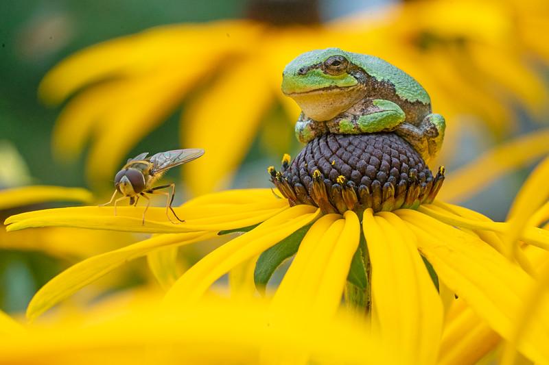 Gray Tree Frog 012