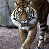 <b>Who da cat?! Phoenix Zoo—24 December 2009</b>  You may have met this gorgeous creature already in the Lions and tigers and bears--oh, my! gallery. I'm a BIG cat fan (and fan of big cats). I spent some quality time with this one on a beautiful Phoenix afternoon last December. Thanks to NTS, who chose this week's feature. Fierce! [cat and son!]