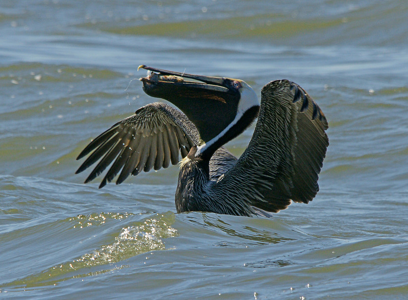 Brown Pelican 004