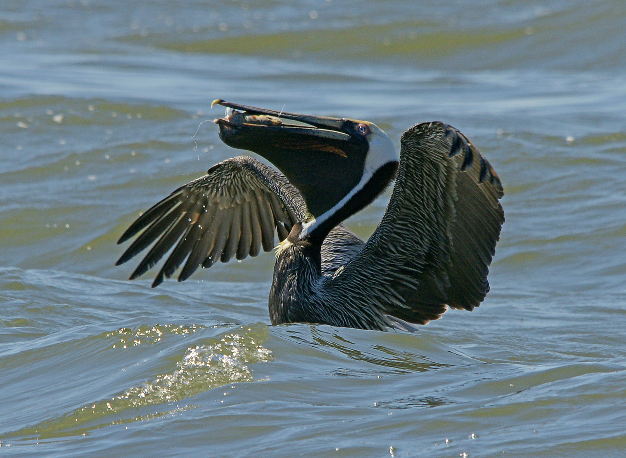 Brown Pelican 004