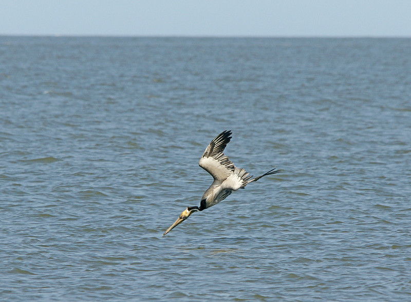 Brown Pelican 003