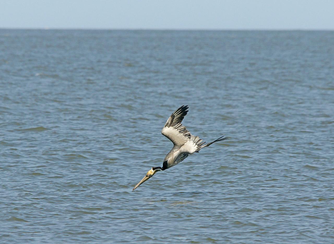 Brown Pelican 003
