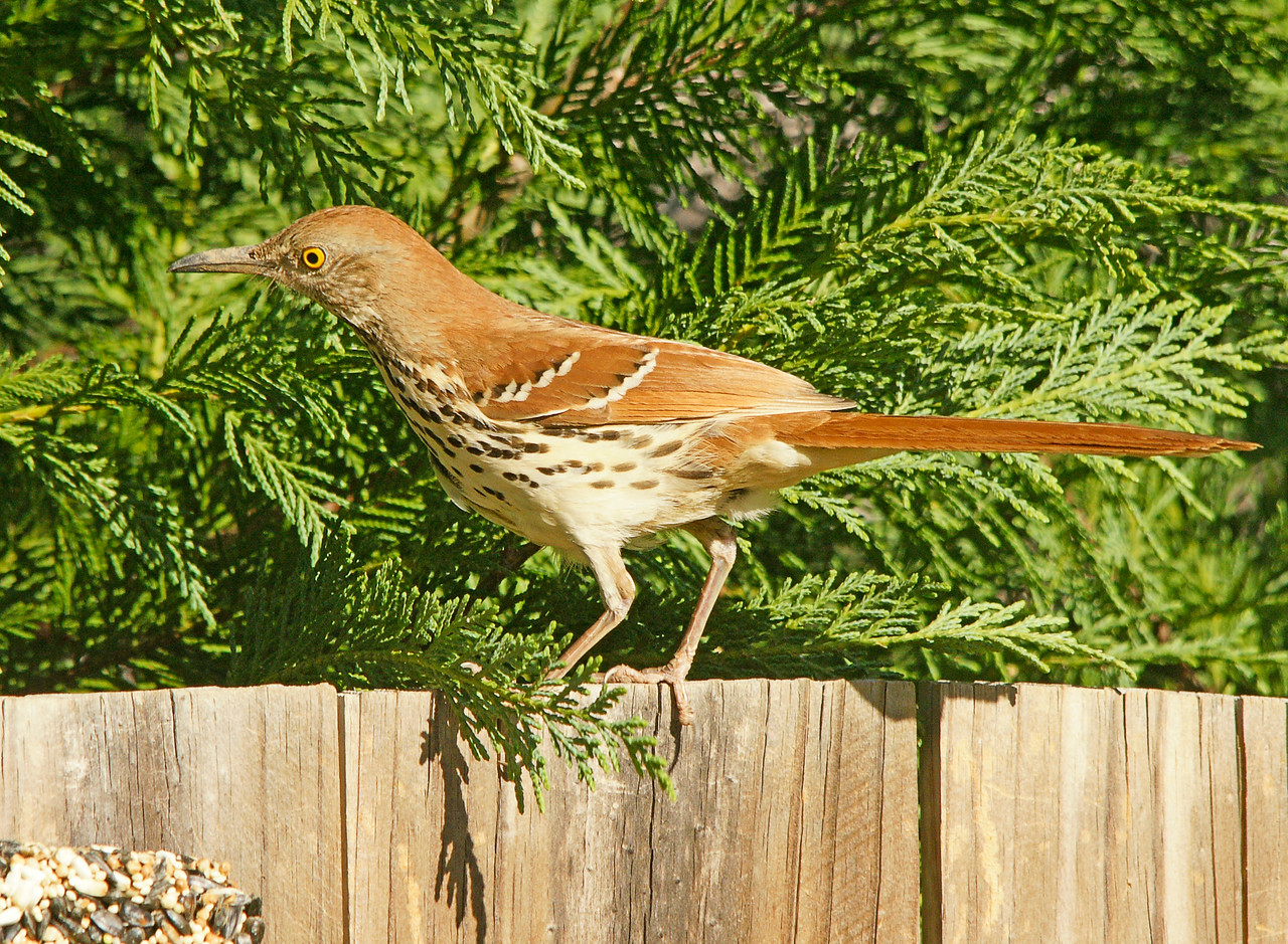 Brown Thrasher<br /> <br /> Addie loves the outdoors. We spent many hours in her backyard watching the birds. Addie loves feeding them and has many varieties that come to the feeder.