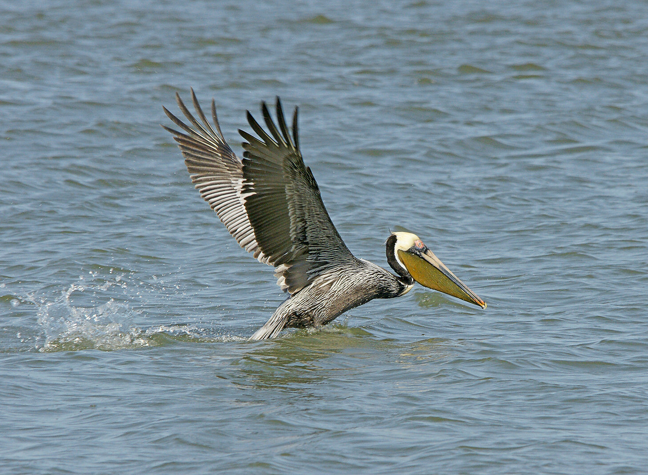 Brown Pelican 001<br /> <br /> Most of our time was spent on Tybee Island. Addie loved running on the beach and watching the pelicans and dolphins.