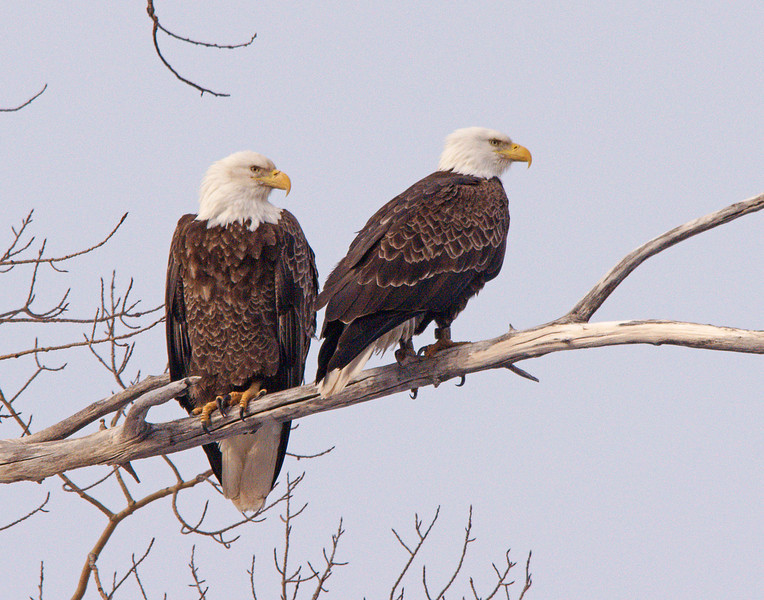 Cascade Eagles 001<br /> <br /> The male and female usually switch nesting duties every two hours.