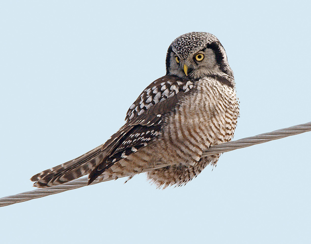 Northern Hawk Owl<br /> <br /> The second wildlife encounter was with a Northern Hawk Owl. This one was at the Traders Post in Grand Portage. The owl was on the power line. It was used to people since many walk between the casino and the Traders Post. As I took the photos several people walked by and commented on the beautiful owl.<br /> <br /> I was sitting in the car watching the owl when it swooped down into the highway ditch after a mouse. It came up empty and continued back to its perch on the dead aspen tree. My eyes were right on the owl as it was positioned to fly right over my car. I didn't see the truck coming. My window was open so the first thing I heard was the thud as the owl bounced off the truck's grill. It lay on the side of the highway weakly flapping its wings. Immediately, two crows landed and started pecking the owl even before it died. I couldn't believe my eyes and was pretty upset. I know owls are struck by vehicles regularly. This one had more of an impact on me since I was there and concentrating on it as it flew towards me. I didn't even see the truck until after it hit the owl.