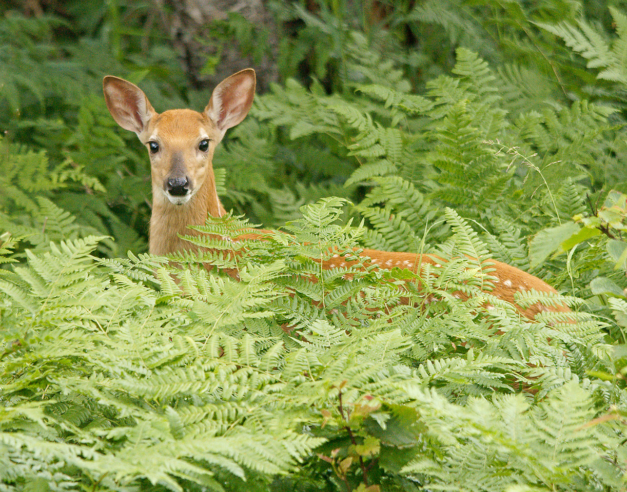 Resident Fawn<br /> <br /> Two weeks ago I showed a photo of one of our resident fawns reflected in the pond. As a follow up I wanted to let you know what happened last Sunday night. I was woken up at 1:30 AM to frantic screams. I jumped out of bed just in time to hear something chase one of the fawns by our bedroom window, down the hill, around the pond and into the woods. The fawn was bawling the whole time until the sounds suddenly ended. I thought maybe it was a wolf. When I went to investigate the next day I was kind of surprised.  It turned out to be a black bear.  I found three piles of bear droppings in the spot where the fawn had been killed and eaten. The grass was all flattened down and there were bone splinters with fresh blood in three different locations. <br /> <br /> That is why the sound of what was chasing the fawn was so much more muffled. With each jump I heard the fawns little feet hitting the ground and a fraction of a second later the muffled thump of something else. I couldn't believe how fast they moved. You couldn't even think of outrunning a bear. <br /> <br /> We have seen the does since but no fawns so I think the bear has gotten all three.