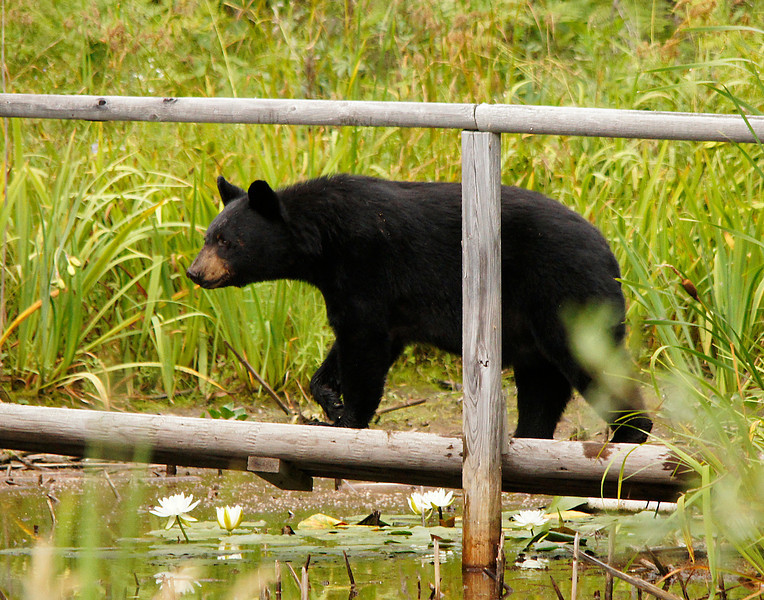 Mama Black Bear<br /> <br /> Most of the wildlife encounters happened before heading into the BWCAW. We saw a fox, coyote and wolf along the road. A couple days earlier we had a black bear family visit our home. Mom led her three cubs across the bridge that we built over our pond.