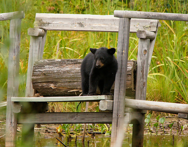 Bear Cub Number One.<br /> <br /> This little guy seemed to be taking a rest against the post while watching mom swimming. I think he was wondering why he couldn't swim.