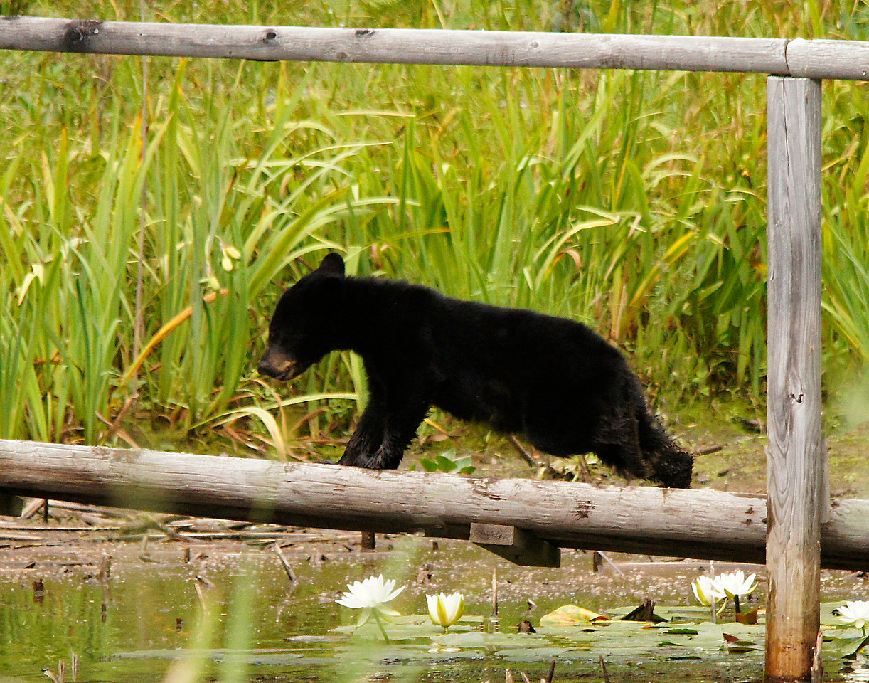 Bear Cub Number Three<br /> <br /> The last cub was still pretty small and didn't seem to trust our rickety old bridge.