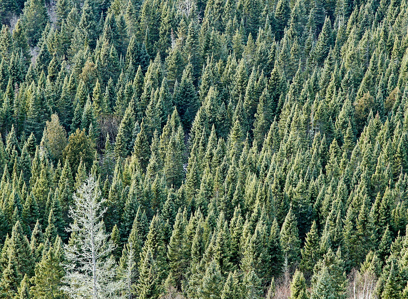 Spruce and Cedar Forest<br /> <br /> The adjacent forest looked like thousands of naturally pruned Christmas trees ready for harvest.