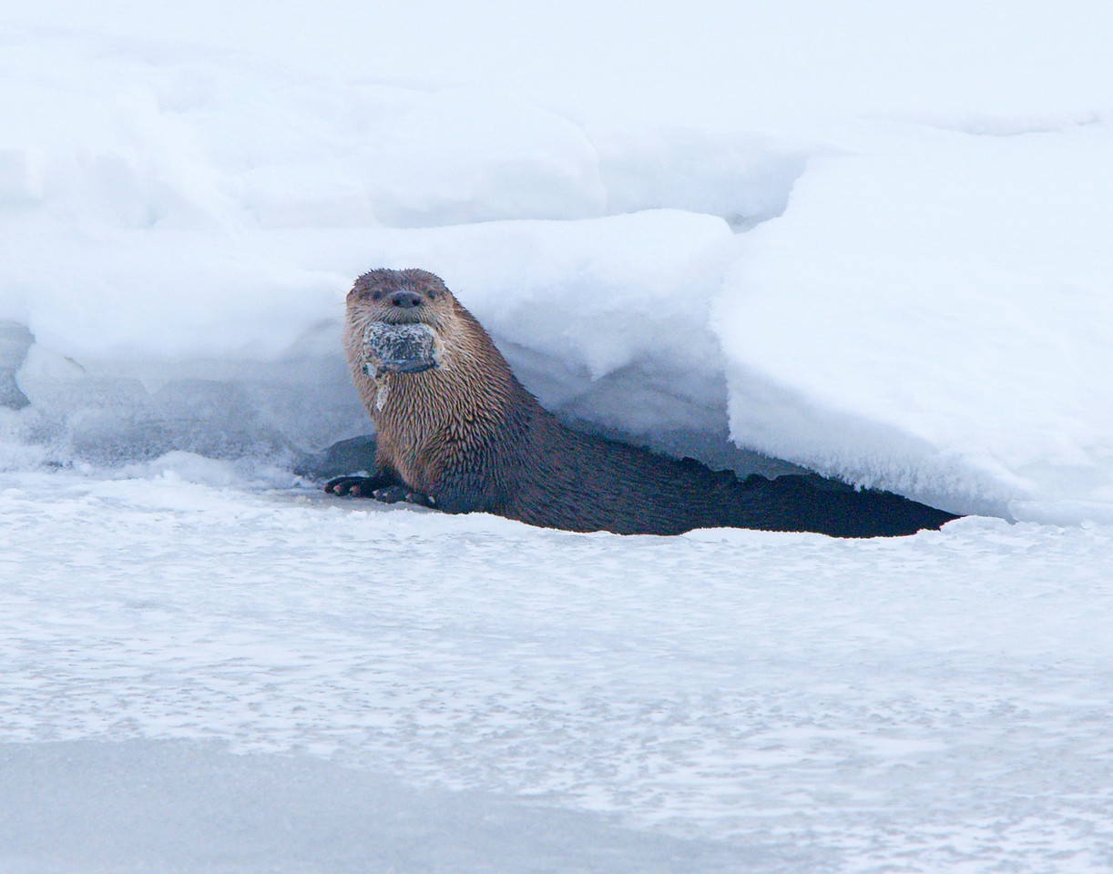 Resident Otter<br /> <br /> The cold temperature did not seem to bother the resident otter.  He came up out of the ice with a piece of fish that he had been eating. I was very glad that I had made the trip into town.