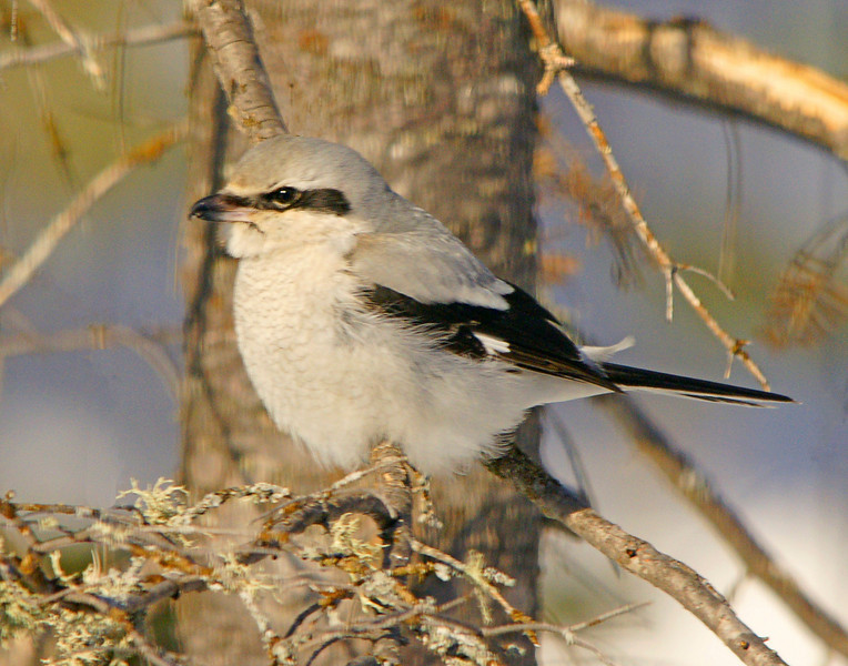Shrike<br /> <br /> One of the more rare species that we have seen almost daily is the shrike. They are meat eaters and their diet consists of other small birds and mice.
