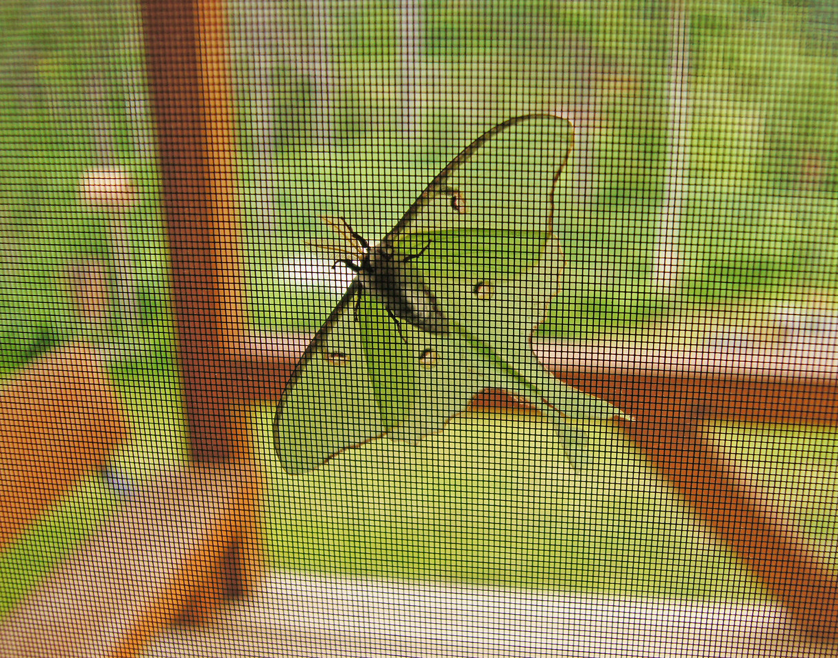 Luna Moth on Screen<br /> <br /> The light on our front porch seems to attract them.  In the morning they are attached to our screen door or the deck rails. The chipmunks must think they are a delicacy. If the chipmunks get there before I do all that is left are their wings.