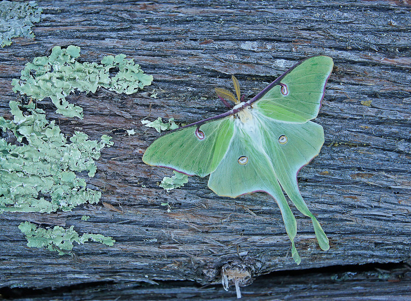 Luna Moth on Cedar<br /> <br /> Varying weather conditions brings an abundance of various flowers in the spring. This year the blue flags are everywhere. Apparently that holds true in the insect world as well.
