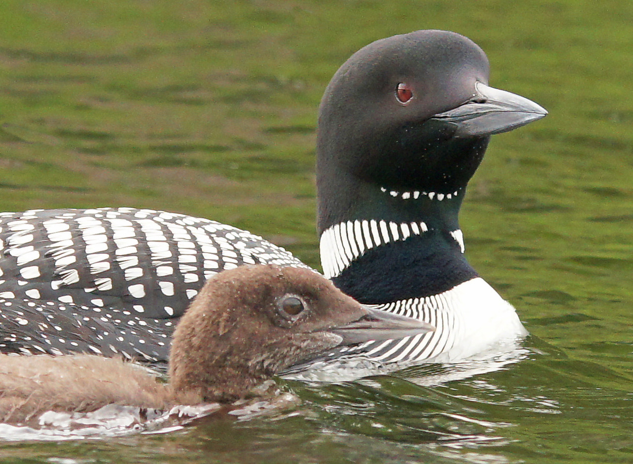 Loon Family 1<br /> <br /> This baby is growing fast. It only has a couple more months until it heads south.