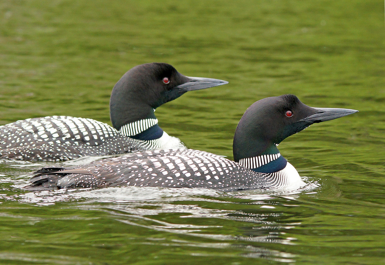 Loon Family 2<br /> <br /> Sometimes the loons will swim right up to your canoe.