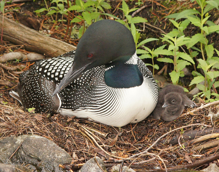 Loon Chick 003<br /> <br /> What a thrill to be present when the chicks first appeared. The baby chicks moved around pretty well even though they were only hours old.