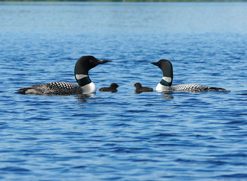 Exploring Their New World<br /> <br /> The adults got upset when two other loons flew their way. They took on a defensive pose, looked up in the sky and began calling. At first we wondered what had gotten them all worked up but then we saw the other loons. They must have awesome eyesight. I am sure they were informing these intruders that this was their territory and to keep out. After the other loons were out of sight they returned to quietly feeding. Both Travis and I had to admit that this was one of the best wildlife encounters we have experienced in a lifetime of outdoor adventures.