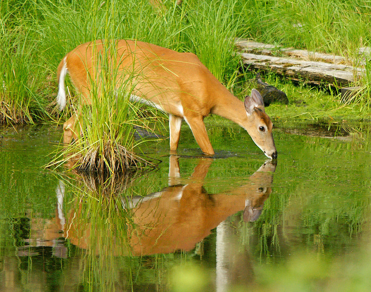 Reflections 001<br /> <br /> Whitetail deer are very plentiful along the North Shore. Over the summer we have had two deer families frequenting our wildlife ponds next to our house. One doe has one fawn and the other has twins. Deer are so beautiful when their summer hair has that reddest glow.