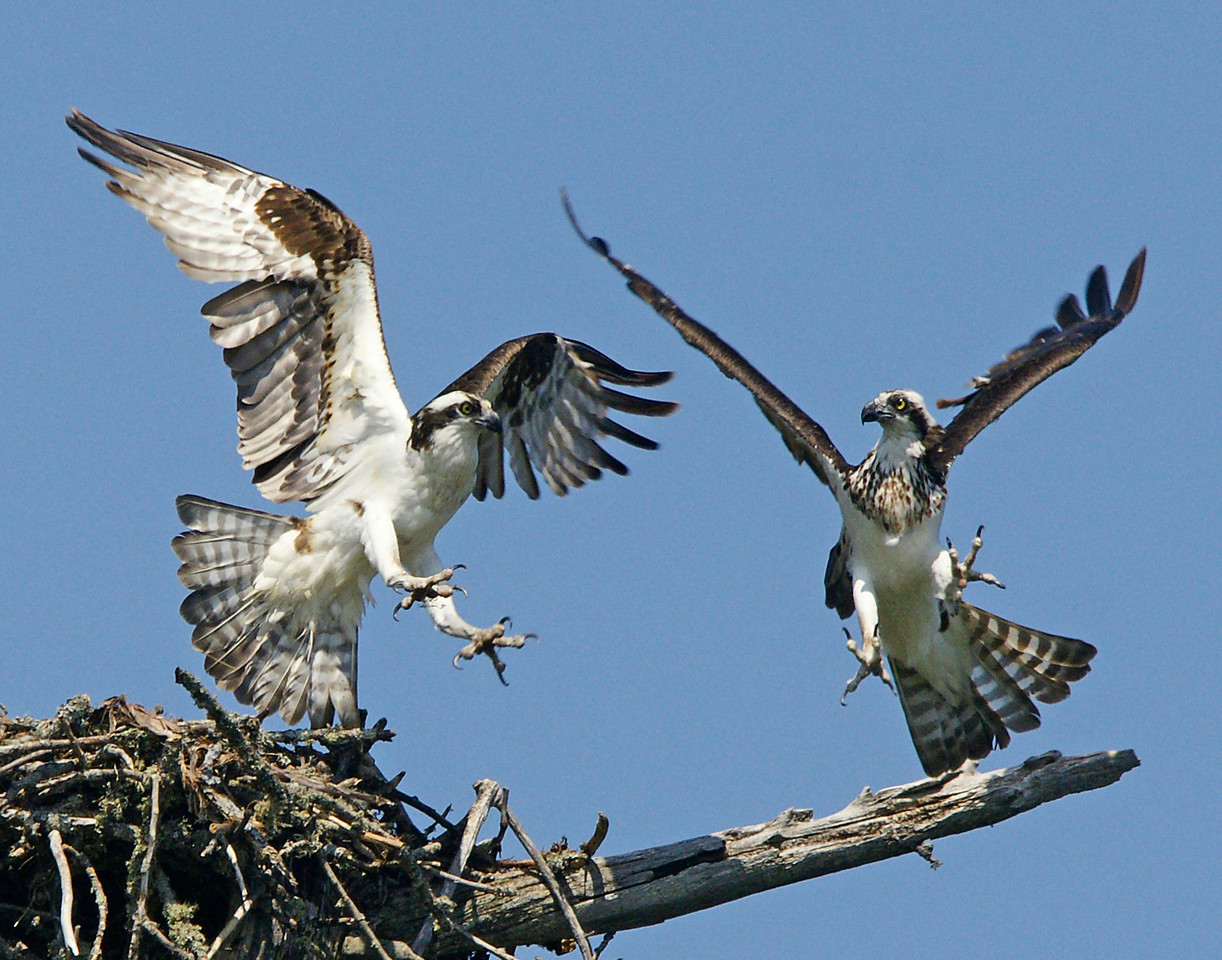 Osprey Nest 003<br /> <br /> When you see the size of an osprey's talon you realize how easily they can grab a fish from the water.