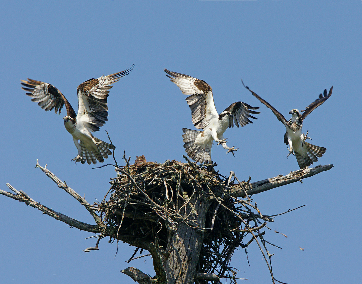 Osprey Nest 002<br /> <br /> There were two around regularly but three of them came into the nest at the same time on two separate occasions.  Luckily I had my camera set up on the nest when this happened.  It looked like the pair that was on the nest didn't appreciate the intrusion of the third. They went at each other with talons open.