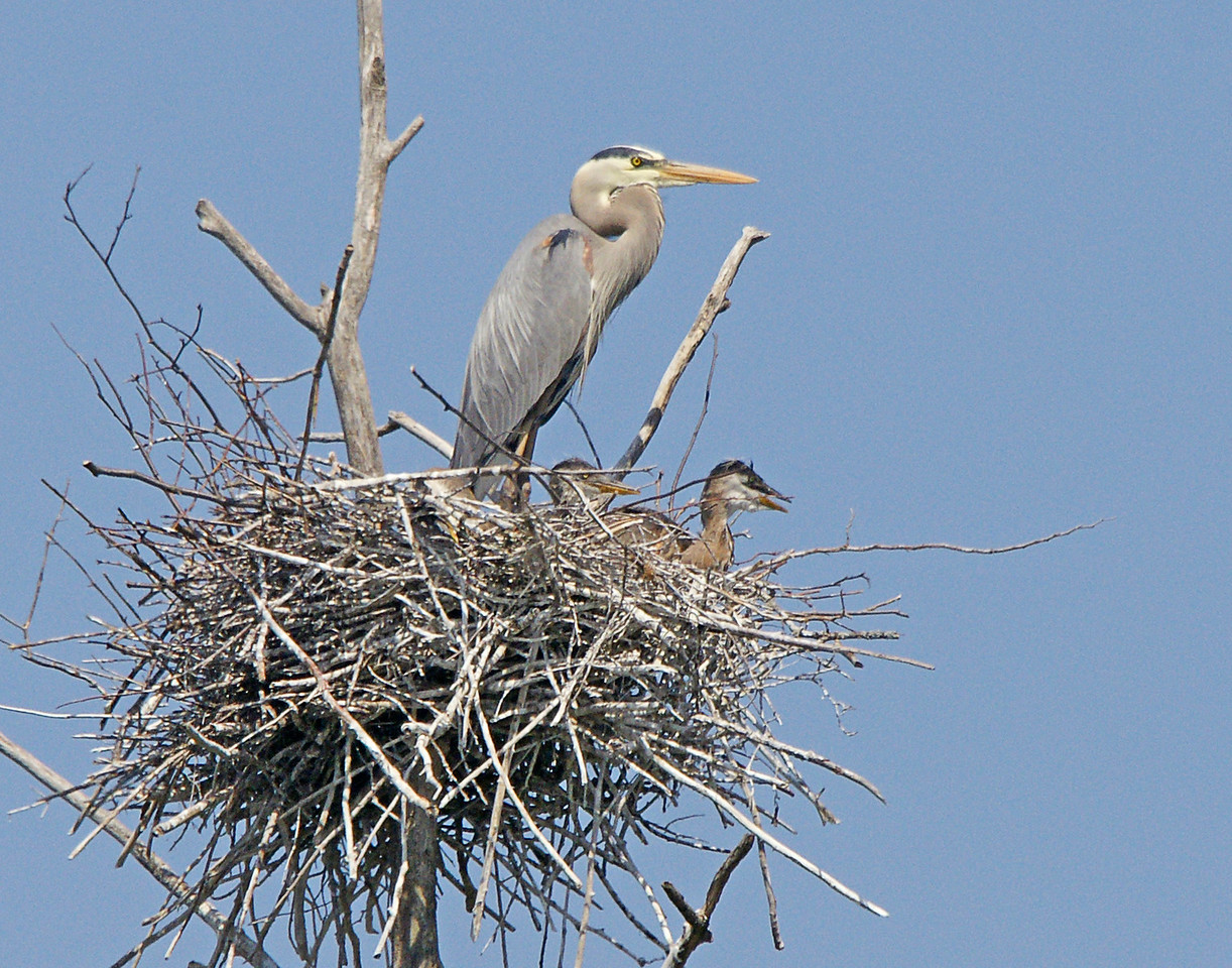 Great Blue Heron Rookery 003<br /> <br /> It was interesting to hear the young vocalizing from the nest as soon as the adult is seen on the horizon. They must be able to recognize their own parents somehow.