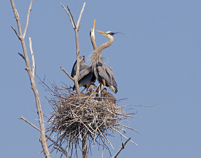 Great Blue Heron Rookery 004<br /> <br /> One adult always guarded the nest as the other one would be out getting food. After bringing in the food, the adults would usually do this interesting neck dance as a part of courtship.