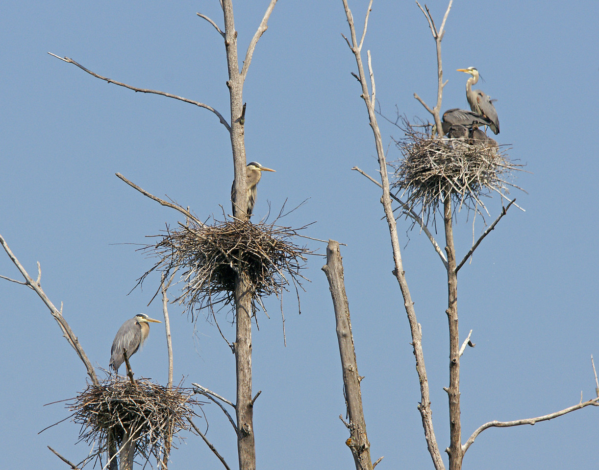 Great Blue Heron Rookery 002<br /> <br /> There are sixteen active nests and Addie had fun watching the adults bringing in food for the young.