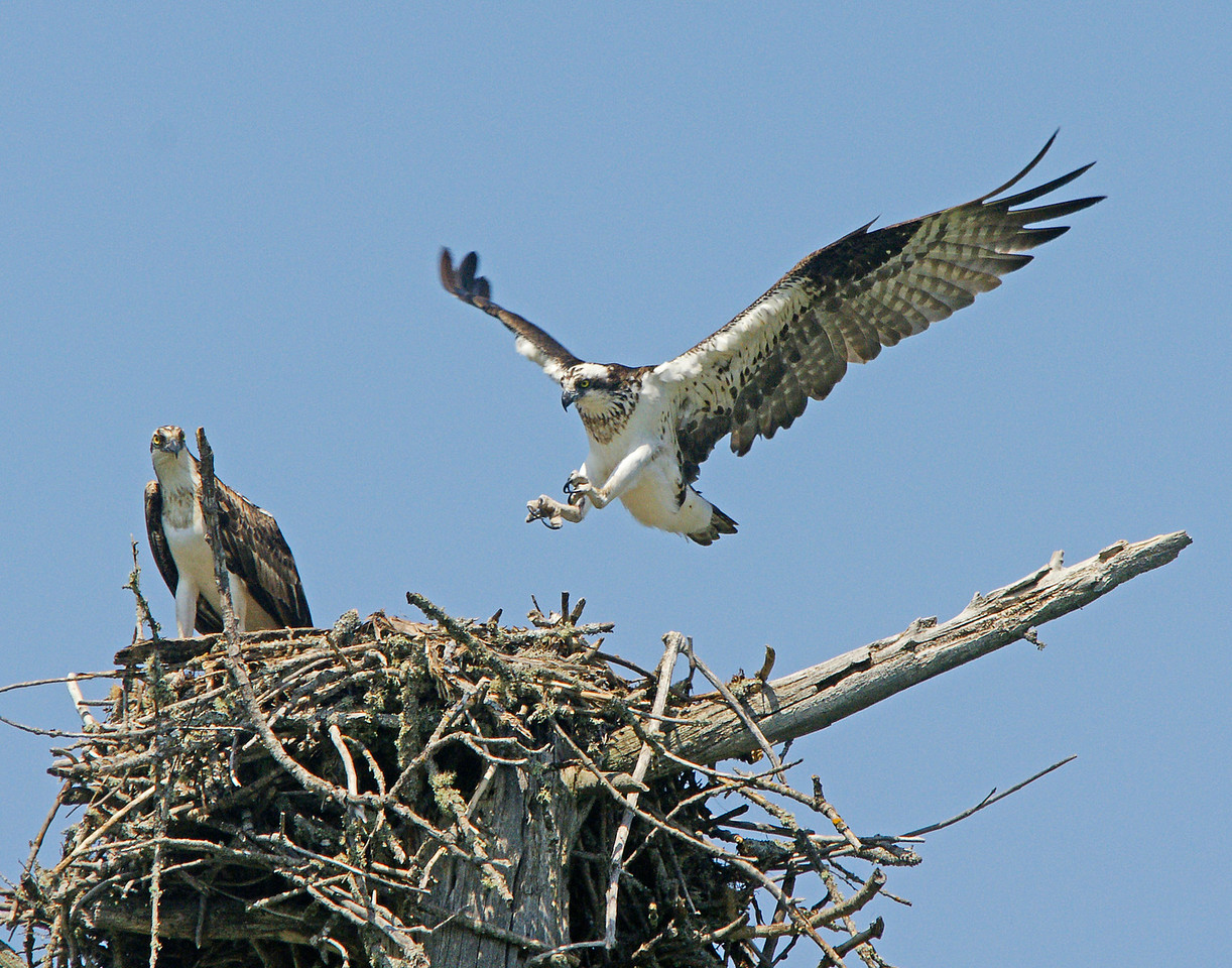 Osprey Nest 001<br /> <br /> Just off to the side of the Blue Herons is an osprey nest. Addie was able to see them bring in a fish.