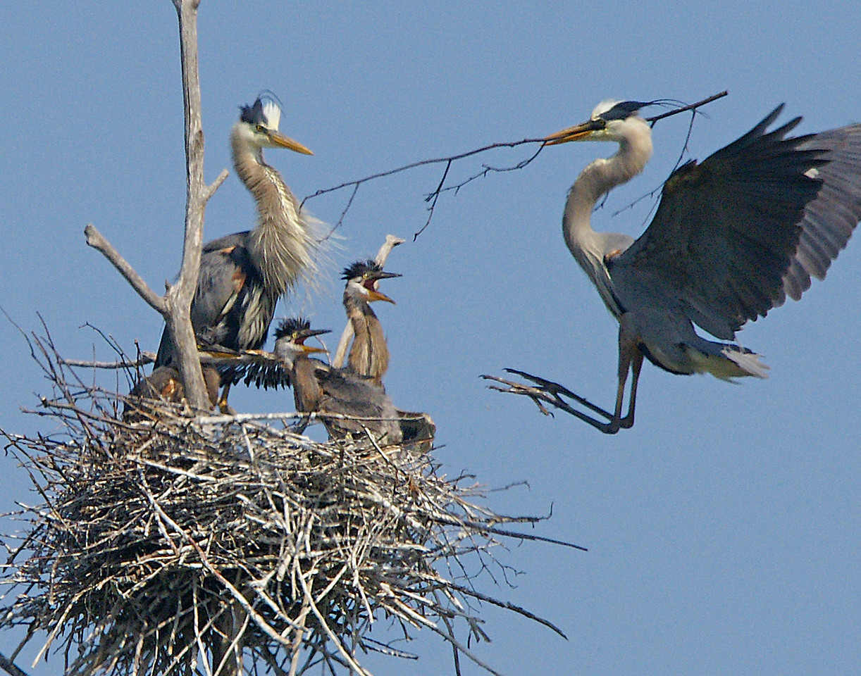 Great Blue Heron Rookery 005<br /> <br /> Several times we saw the adults bringing in more sticks for home improvement projects.