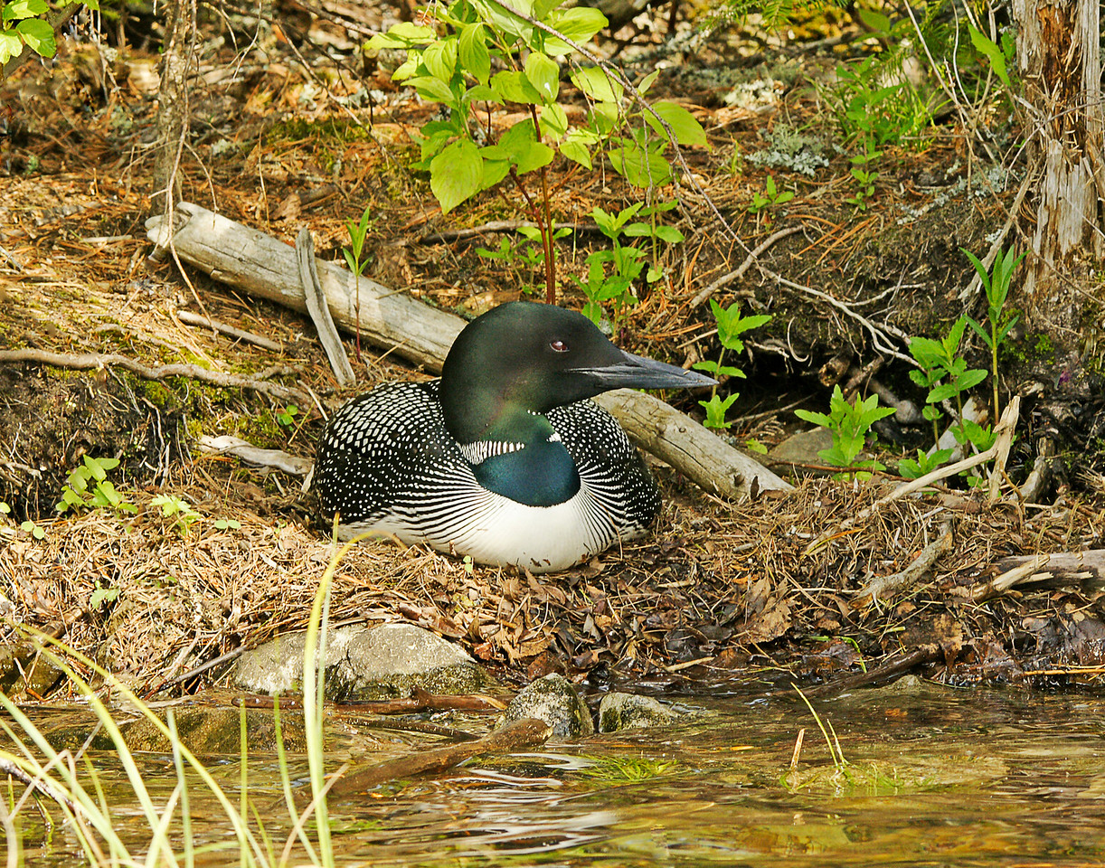 Loon Nest 004<br /> <br /> Being that this was Addie's first loon encounter, I think it will be one of the best she will ever have.